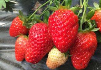 草莓根腐病的发病原因以及防治措施
