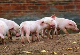 猪鼻炎要怎么治?猪鼻炎的治疗方法