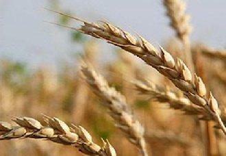 <b>印度或将小麦进口关税从目前30%提高到40%</b>