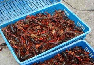 长沙望城万星村小龙虾养殖面积突破6万亩 产量达500万公斤