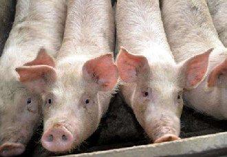 <b>猪脑炎的发病原因以及防治措施</b>