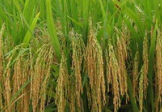 广西玉林实现一种多收水稻种植模式