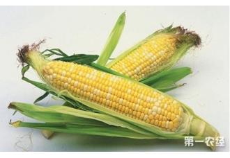 玉米死苗的原因以及防治方法