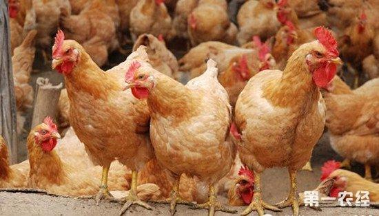 散养鸡选择什么品种?我国本土散养鸡品种推荐