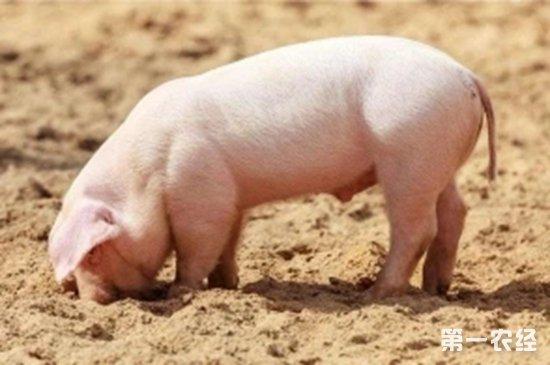 用面捏小动物猪