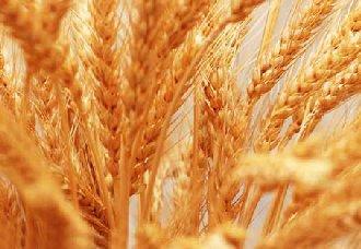 <b>小麦红矮病的症状以及防治措施</b>