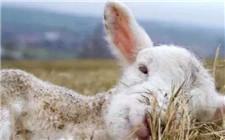 羊破伤风怎么治?治疗羊破伤风的几种方法