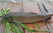 如何减少草鱼的生病率?防止草鱼生病的措施