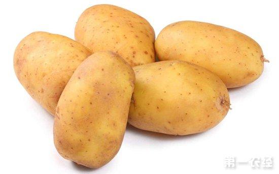 山东和贵州马铃薯产区二膜新薯价格行情稳定