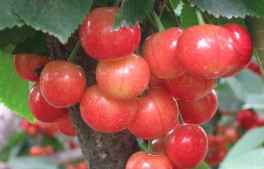 种植樱桃让文林镇的农户们走上了脱贫致富的道路