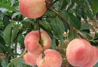 桃树褐腐病的症状以及防治方法
