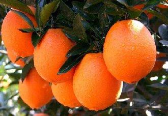 怎么提高脐橙产量?脐橙高产的种植技术