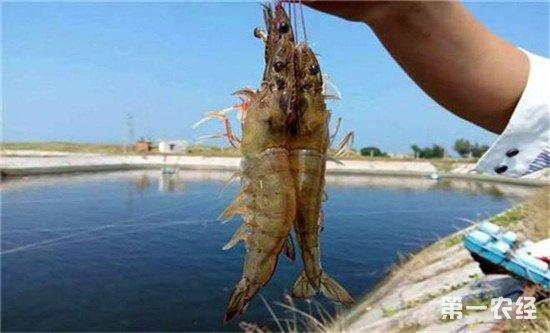 如何提高南美白对虾的养殖效率?这几个点要做好