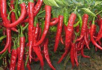 辣椒早衰的原因以及防治措施