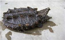 鳄龟的养殖条件和养殖方法介绍