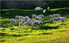 羊得了胃肠炎怎么办?羊胃肠炎的调养和治疗方法