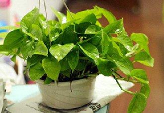 水培绿萝转土培有什么方法?以下三点要记住