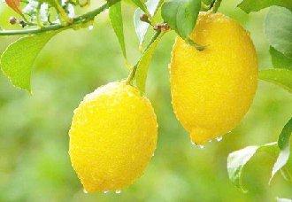 柠檬流胶病的症状以及防治措施