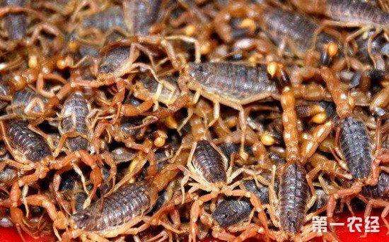 养殖蝎子需要注意些什么?蝎子的养殖方法