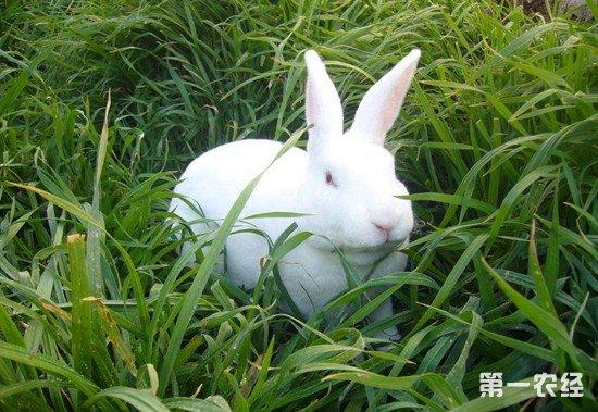 獭兔怎么养?獭兔的养殖管理注意事项
