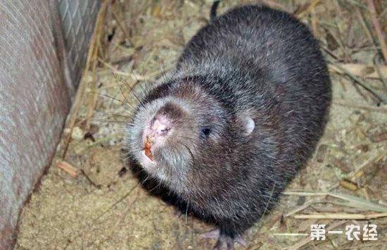 竹鼠的生活习性和养殖方法介绍