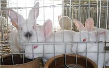 獭兔喂什么才能长得快?獭兔的饲料配方介绍