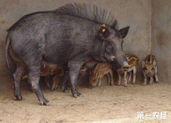 养殖野猪需要怎样的条件?野猪的养殖方法