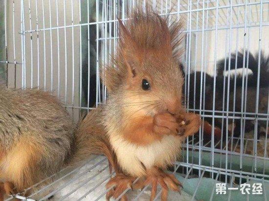松鼠的人工养殖方法和养殖注意事项