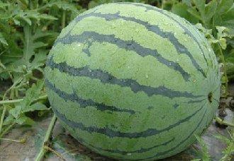 西瓜施肥时要注意什么?西瓜施肥的注意事项