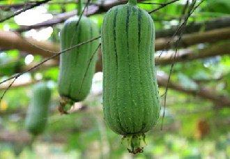 如何提高丝瓜的产量?夏季丝瓜高产的种植要点