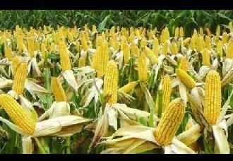 玉米黄苗的原因以及防治措施