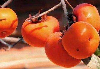 <b>柿子炭疽病的发病特点以及防治方法</b>
