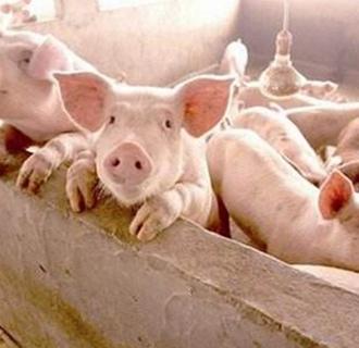 <b>养猪场要怎么消毒?养猪场的规范消毒技术</b>