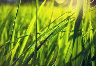 <b>水稻自私基因首次被发现,揭示了水稻杂种不育现象</b>