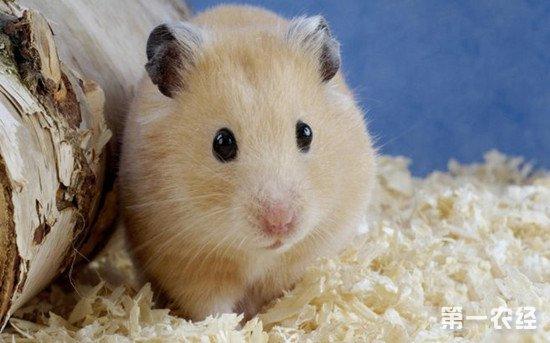 仓鼠吃什么?仓鼠的饲养方法和注意事项