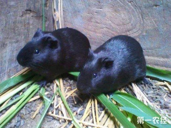 黑豚鼠的养殖方法和注意事项