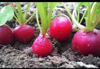 樱桃萝卜要怎么种?樱桃萝卜的种植技术