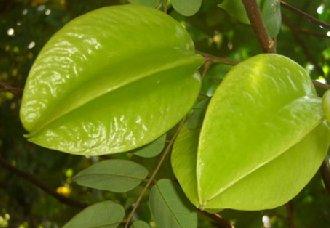 怎么提高杨桃产量?杨桃高产的施肥要点