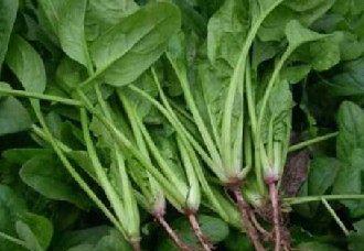 夏季怎么提高菠菜产量?菠菜的夏季高产技术
