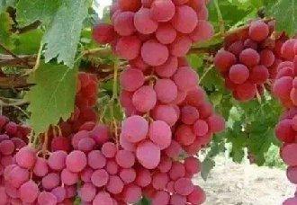 葡萄常见的病虫害以及防治要点