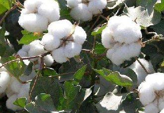 基因组编辑技术为棉花黄萎病防治提供了有效技术手段