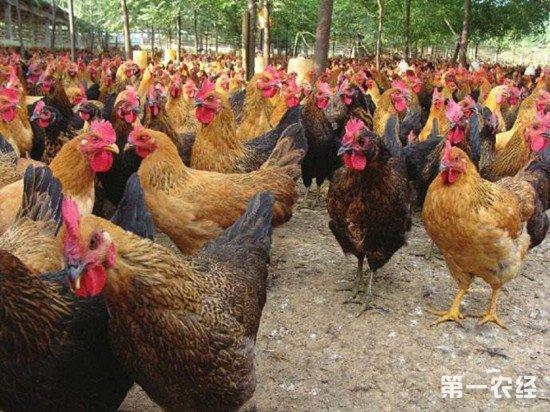 鸡群发生应激反应怎么办?缓解鸡群应激的方法