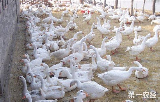 鹅如何进行短期育肥?2个月出栏的快速养殖方法