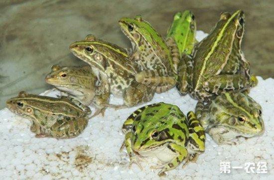 青蛙的人工繁殖和养殖方法