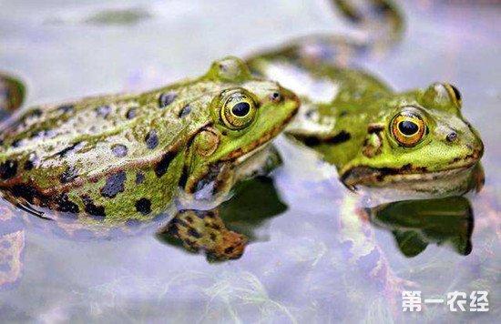 美国青蛙的养殖方法和管理注意事项