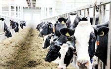 人造牛奶来了,这对传统畜牧业是挑战还是机遇呢?