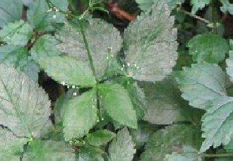 三叶芹怎么种?三叶芹的种植技术