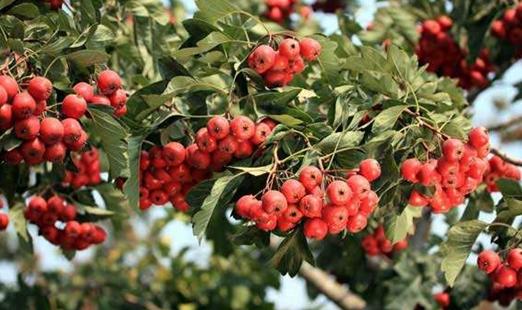山楂幼树提早挂果的管理要点