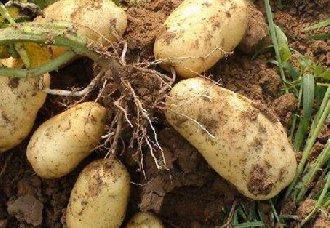 """马铃薯颠覆性""""绿色革命"""":2克种子种一亩地"""