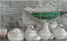 肉鸽的养殖方法:养殖肉鸽要做好哪些方面?